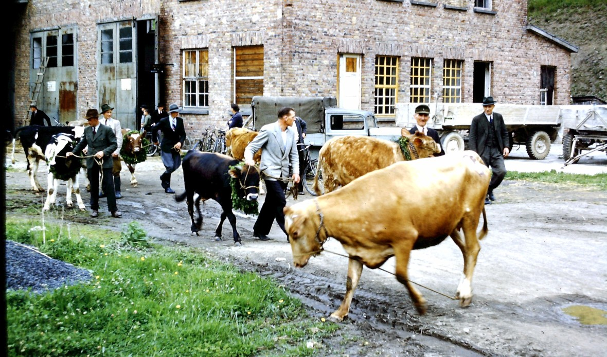 Crumrine-A40 Heifer distribution